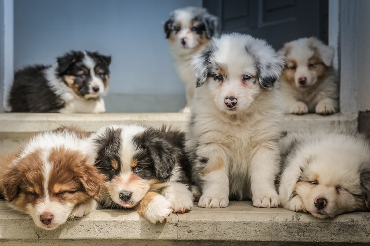 Puppies for sale in Melbourne